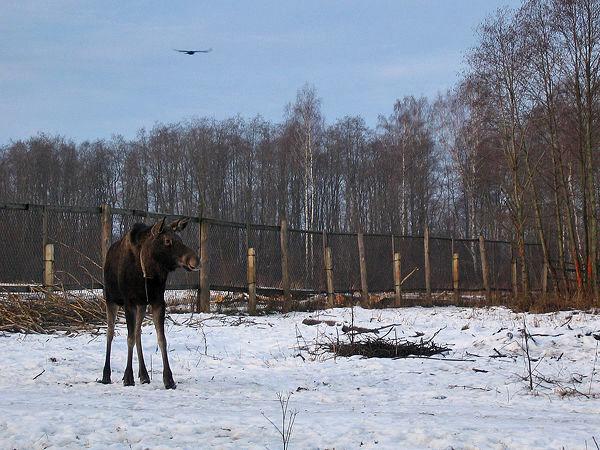 Кострома. Сумароковская лосиная ферма