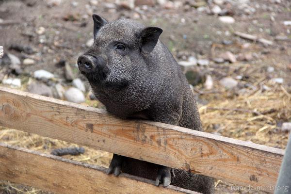 Остров Коневец хозяйство свиньи