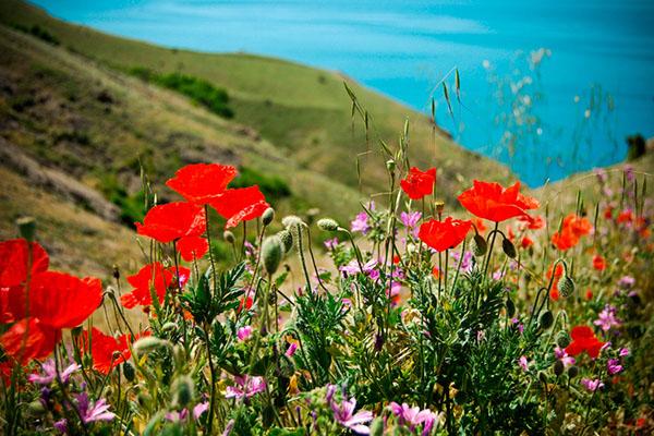 Маки в Крыму цветение степи в мае