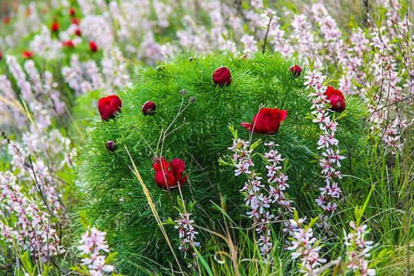 Долина диких пионов Ульяновская область пионы цветение