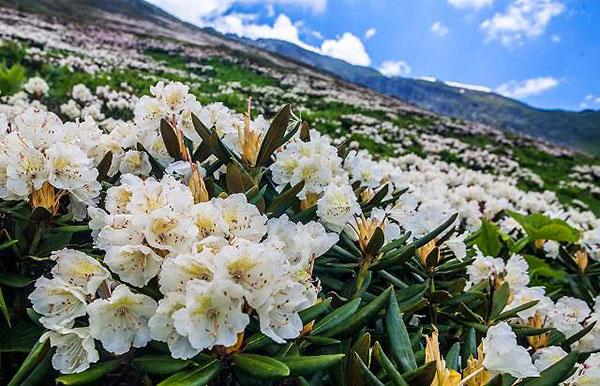 цветение Рододендрон Кавказский